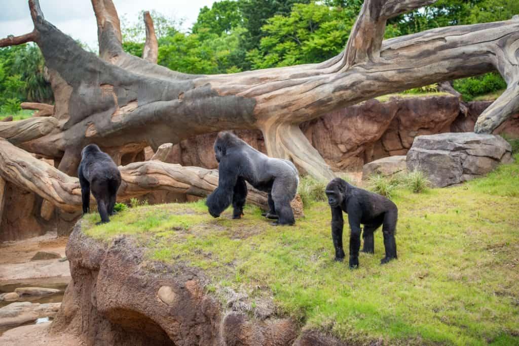 Gorillas At Houston Zoo Now Open Pearland Texas