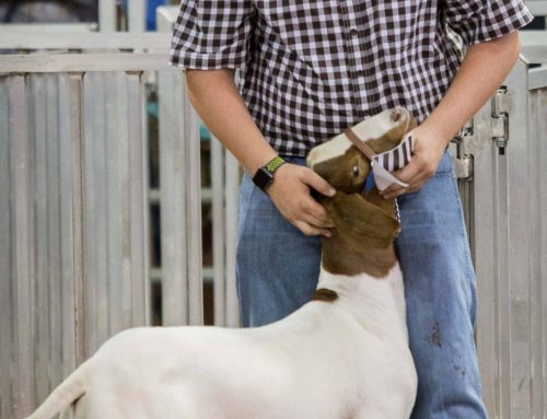 Sixth annual Pearland ISD Livestock Show, Career Expo slated for Sept. 13-15