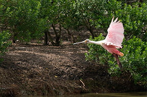 roseate spoonbill in Pearland